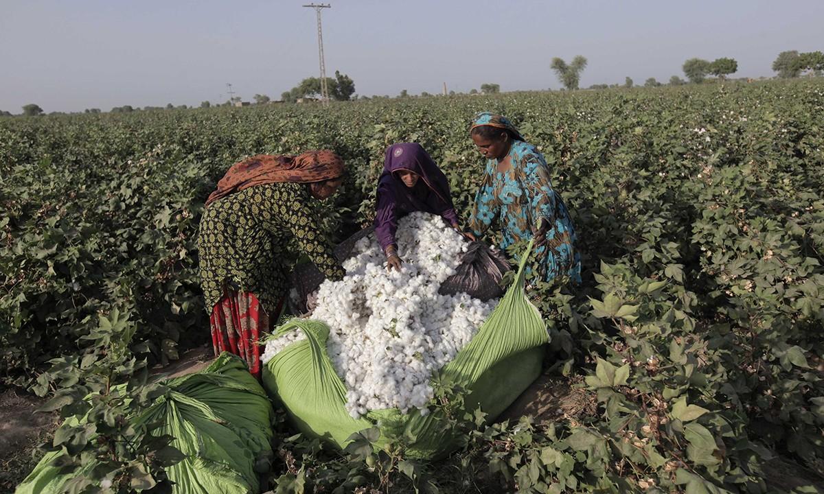 ارتفاع المساحات المنزرعة قطن لـ227.3 ألف فدان ولجان المتابعة تواصل الحصر