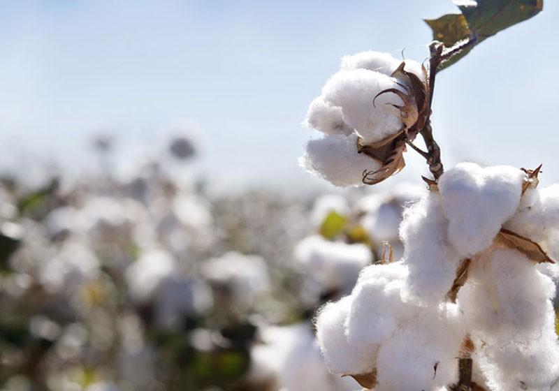زيادة إنتاج الموسم الماضى وراء ارتفاع صادرات القطن