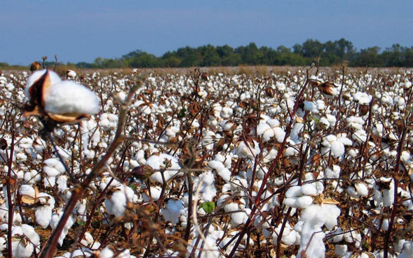 الزراعة: أصناف القطن الموسم الجديد مبكرة النضج وتوفر مياه الرى بنسبة 20 فى المئة