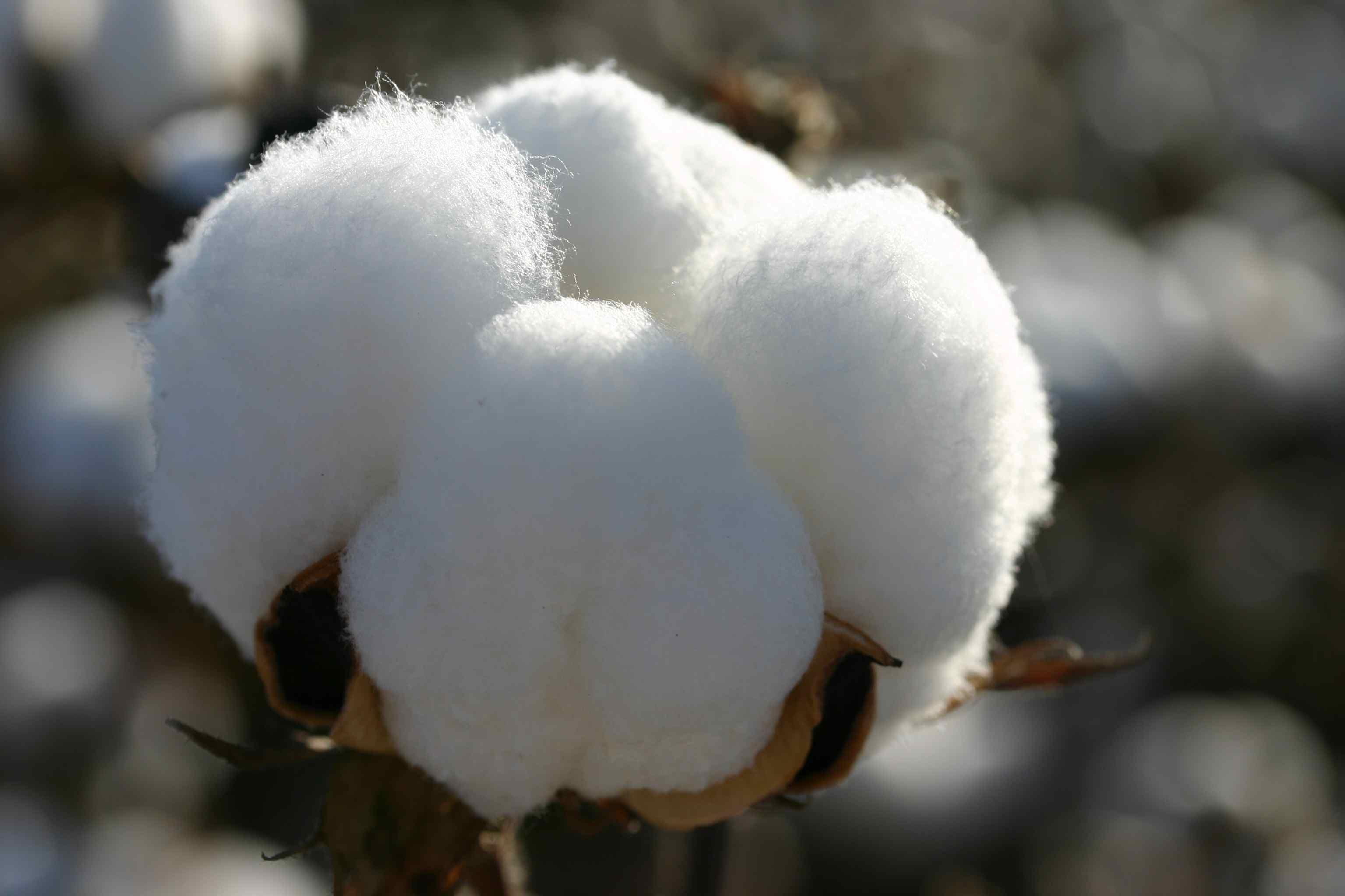 خبير زراعي: نجاح زراعة القطن المصرى الأورجانيك بإنتاجية 18 قنطار للفدان